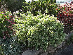 Emerald Gaiety Wintercreeper (Euonymus fortunei 'Emerald Gaiety') at Alsip Home and Nursery