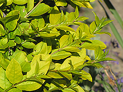 Golden Privet (Ligustrum x vicaryi) at Alsip Home and Nursery