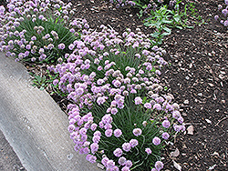 Juniper-Leaved Sea Thrift (Armeria juniperifolia) at Alsip Home and Nursery