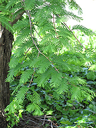 Dawn Redwood (Metasequoia glyptostroboides) at Alsip Home and Nursery