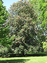 Red Horse Chestnut (Aesculus x carnea) at Alsip Home and Nursery