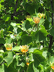 Tuliptree (Liriodendron tulipifera) at Alsip Home and Nursery