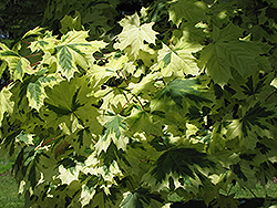 Variegated Norway Maple (Acer platanoides 'Variegatum') at Alsip Home and Nursery