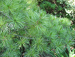 Japanese White Pine (Pinus parviflora) at Alsip Home and Nursery