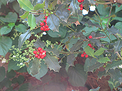 English Holly (Ilex aquifolium) at Alsip Home and Nursery