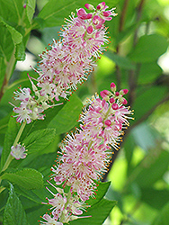 Ruby Spice Summersweet (Clethra alnifolia 'Ruby Spice') at Alsip Home and Nursery
