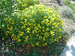 Kalm's St. John's Wort (Hypericum kalmianum) at Alsip Home and Nursery