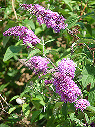 Niche's Choice Butterfly Bush (Buddleia davidii 'Niche's Choice') at Alsip Home and Nursery