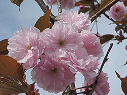 Japanese Flowering Cherry (Prunus serrulata) at Alsip Home and Nursery