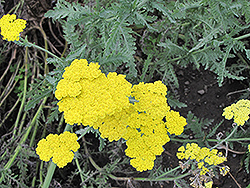 Cloth of Gold Fernleaf Yarrow (Achillea filipendulina 'Cloth of Gold') at Alsip Home and Nursery