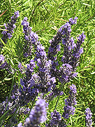 Grosso Lavender (Lavandula x intermedia 'Grosso') at Alsip Home and Nursery