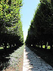 Pyramidal European Hornbeam (Carpinus betulus 'Fastigiata') at Alsip Home and Nursery