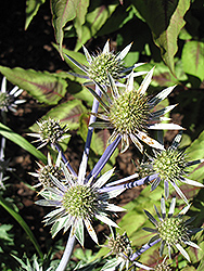 Mediterranean Sea Holly (Eryngium bourgatii) at Alsip Home and Nursery