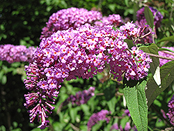 Petite Plum Butterfly Bush (Buddleia davidii 'Petite Plum') at Alsip Home and Nursery
