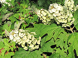 Snow Queen Hydrangea (Hydrangea quercifolia 'Snow Queen') at Alsip Home and Nursery