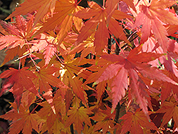 Orange Dream Japanese Maple (Acer palmatum 'Orange Dream') at Alsip Home and Nursery