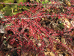 Ground Cotoneaster (Cotoneaster horizontalis) at Alsip Home and Nursery