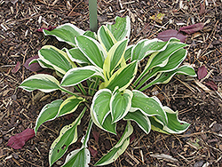 Iron Gate Delight Hosta (Hosta 'Iron Gate Delight') at Alsip Home and Nursery