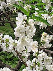 White Icicle Flowering Peach (Prunus persica 'White Icicle') at Alsip Home and Nursery