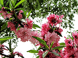 Versicolor Flowering Peach (Prunus persica 'Versicolor') at Alsip Home and Nursery