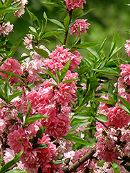 Klara Meyer Flowering Peach (Prunus persica 'Klara Meyer') at Alsip Home and Nursery
