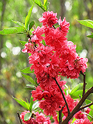 Double Red Flowering Peach (Prunus persica 'Double Red') at Alsip Home and Nursery