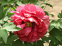 Ming Xing Tree Peony (Paeonia suffruticosa 'Ming Xing') at Alsip Home and Nursery