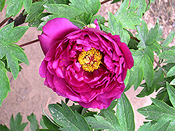 Mo Chi Jin Hui Tree Peony (Paeonia suffruticosa 'Mo Chi Jin Hui') at Alsip Home and Nursery