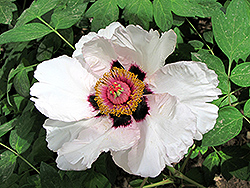 Tian Shi Tree Peony (Paeonia rockii 'Tian Shi') at Alsip Home and Nursery
