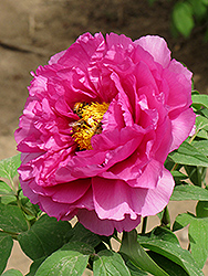 Zi Er Qiao Tree Peony (Paeonia suffruticosa 'Zi Er Qiao') at Alsip Home and Nursery