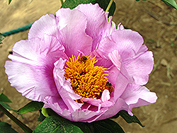 Shi Ba Hao Tree Peony (Paeonia suffruticosa 'Shi Ba Hao') at Alsip Home and Nursery