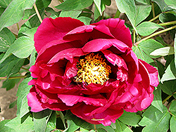 Rimpoh Tree Peony (Paeonia suffruticosa 'Rimpoh') at Alsip Home and Nursery