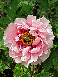 Hua Hu Die Tree Peony (Paeonia suffruticosa 'Hua Hu Die') at Alsip Home and Nursery