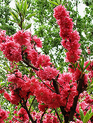 Late Red Flowering Peach (Prunus persica 'Late Red') at Alsip Home and Nursery