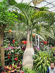 Bottle Palm (Hyophorbe lagenicaulis) at Alsip Home and Nursery