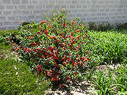Cameo Flowering Quince (Chaenomeles speciosa 'Cameo') at Alsip Home and Nursery
