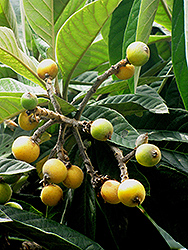 Loquat (Eriobotrya japonica) at Alsip Home and Nursery