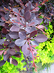 Red Leaf Japanese Barberry (Berberis thunbergii 'Atropurpurea') at Alsip Home and Nursery