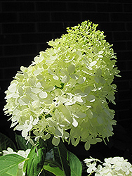 Limelight Hydrangea (Hydrangea paniculata 'Limelight') at Alsip Home and Nursery