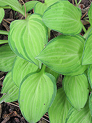 Emerald Tiara Hosta (Hosta 'Emerald Tiara') at Alsip Home and Nursery