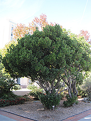 Strawberry Tree (Arbutus unedo) at Alsip Home and Nursery