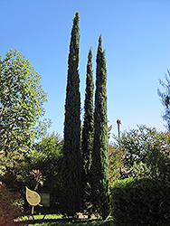 Italian Cypress (Cupressus sempervirens) at Alsip Home and Nursery