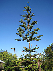 Norfolk Island Pine (Araucaria heterophylla) at Alsip Home and Nursery
