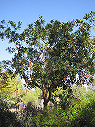 Marina Strawberry Tree (Arbutus 'Marina') at Alsip Home and Nursery