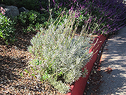 French Lavender (Lavandula dentata) at Alsip Home and Nursery