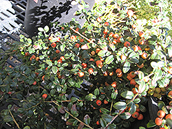 Lowfast Cotoneaster (Cotoneaster dammeri 'Lowfast') at Alsip Home and Nursery