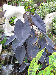 Black Magic Elephant Ear (Colocasia esculenta 'Black Magic') at Alsip Home and Nursery