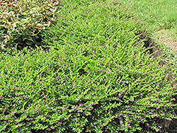 False Heather (Cuphea hyssopifolia) at Alsip Home and Nursery