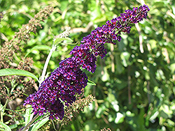 Black Knight Butterfly Bush (Buddleia davidii 'Black Knight') at Alsip Home and Nursery
