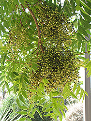 Chinese Pistache (Pistacia chinensis) at Alsip Home and Nursery